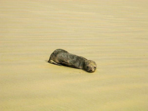 Ninety Mile Beach Seal